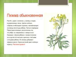 Пижма обыкновенная Растёт у дорог, на межах, у жилищ, в садах, в разреженных