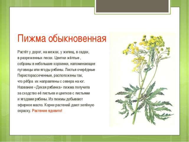 Пижма обыкновенная Растёт у дорог, на межах, у жилищ, в садах, в разреженных...