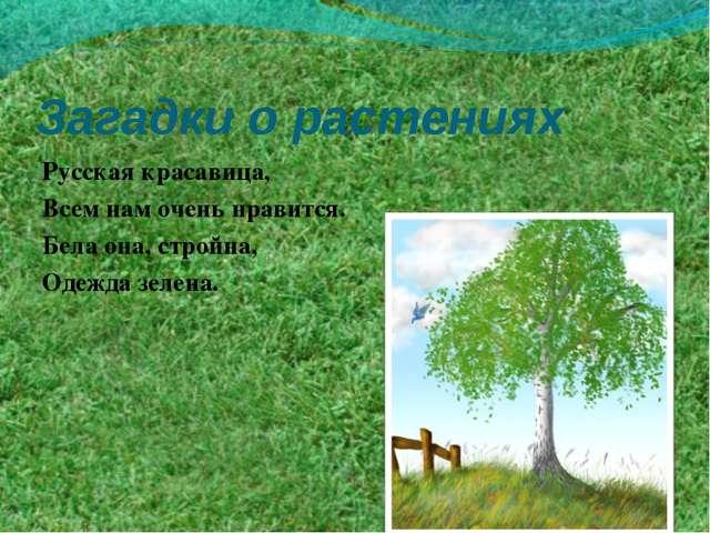 Загадки о растениях Русская красавица, Всем нам очень нравится. Бела она, стр...