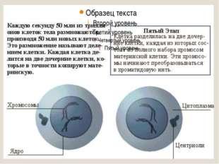 Мейоз I профаза I: Лептотена (лептонема) – стадия тонких нитей, конденсация