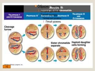 Диплотена (диплонема) – стадия двойных нитей, гомологичные хромосомы, состав