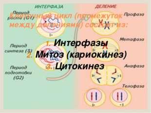 Клеточный цикл (промежуток между делениями) состоит из: Интерфазы Митоз (кари