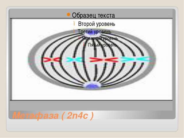 Метафаза ( 2n4c )