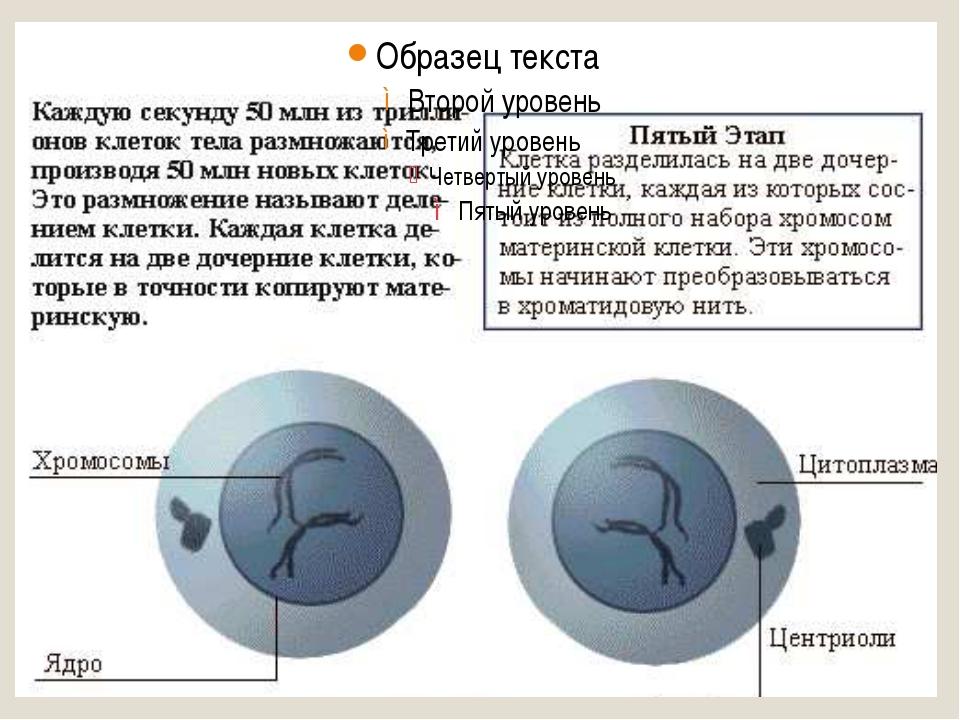 Мейоз I профаза I: Лептотена (лептонема) – стадия тонких нитей, конденсация...