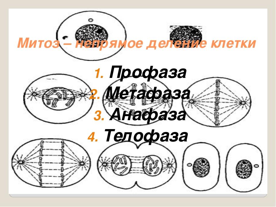 Митоз – непрямое деление клетки Профаза Метафаза Анафаза Телофаза