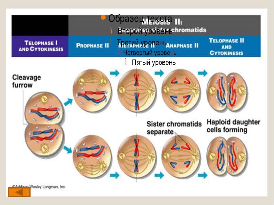 Диплотена (диплонема) – стадия двойных нитей, гомологичные хромосомы, состав...