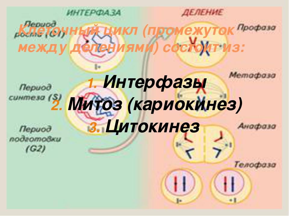 Клеточный цикл (промежуток между делениями) состоит из: Интерфазы Митоз (кари...