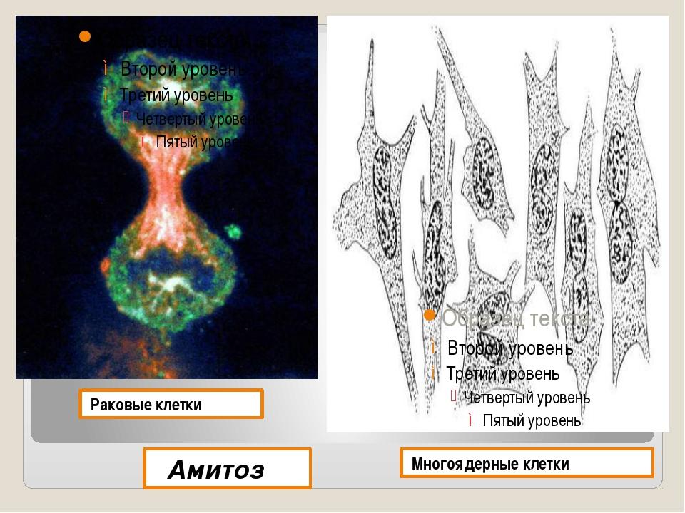 Раковые клетки Многоядерные клетки Амитоз