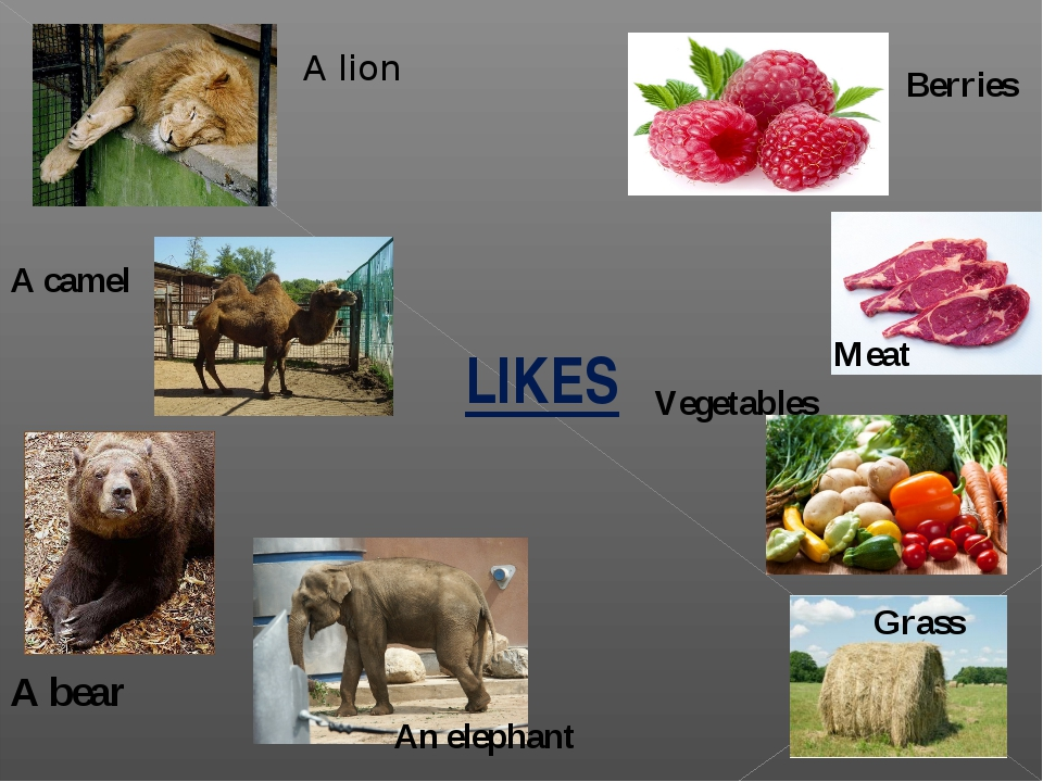 LIKES A lion A camel A bear An elephant Berries Meat Vegetables Grass