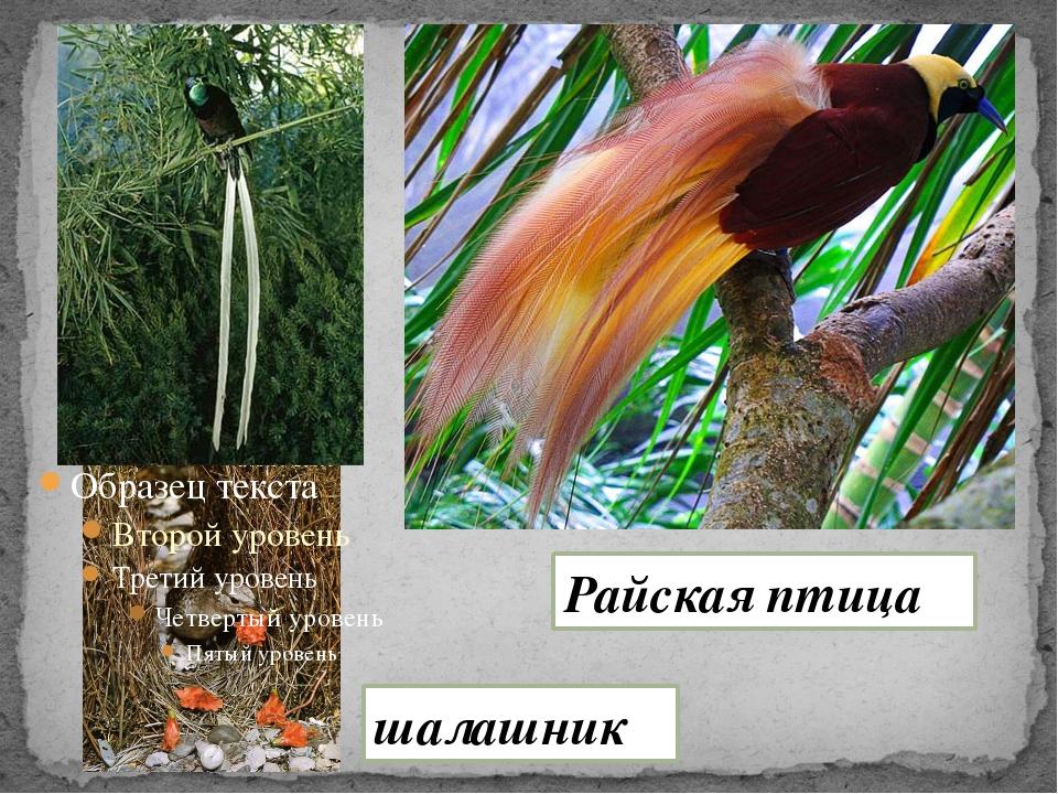 Райская птица шалашник