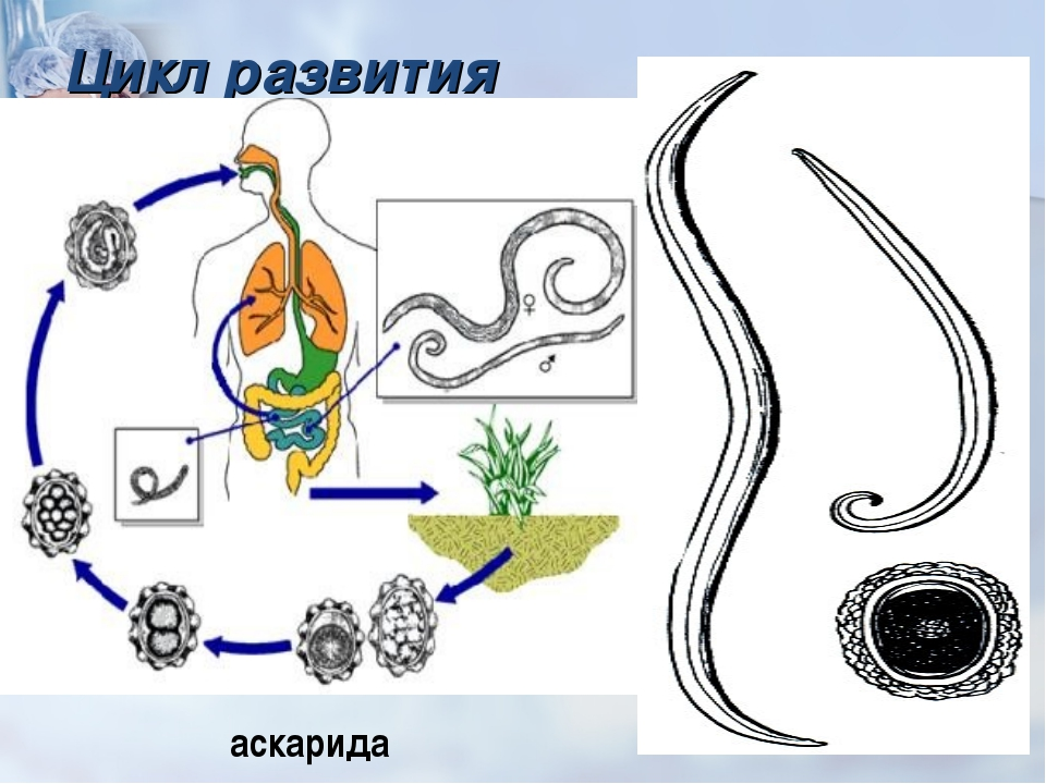 Цикл развития аскарида Бычий цепень