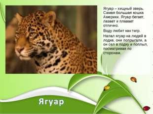 Ягуар – хищный зверь. Самая большая кошка Америки. Ягуар бегает, лазает и пла