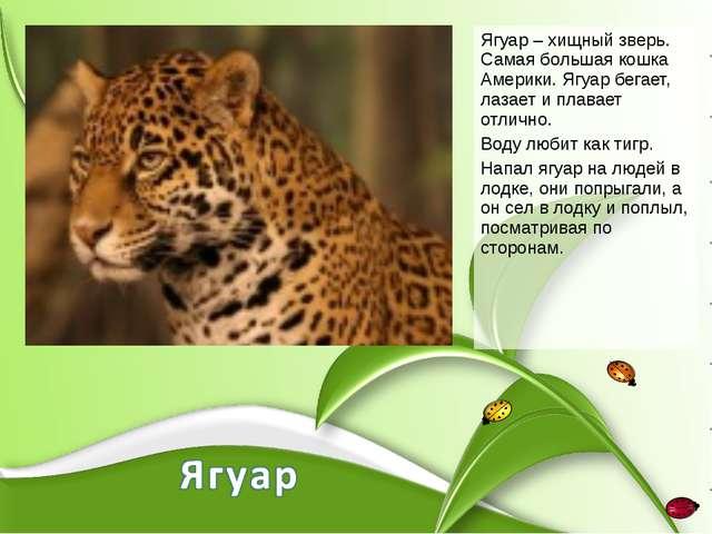 Ягуар – хищный зверь. Самая большая кошка Америки. Ягуар бегает, лазает и пла...