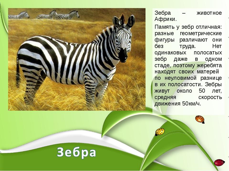 Зебра – животное Африки. Память у зебр отличная: разные геометрические фигуры...