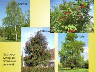 ( КАЛИНА- кустарник, остальные деревья) БЕРЕЗА ТОПОЛЬ РЯБИНА КАЛИНА