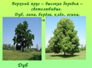Верхний ярус – высокие деревья – светолюбивые. Дуб, липа, берёза, клён, осина