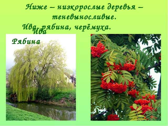 Ниже – низкорослые деревья – теневыносливые. Ива, рябина, черёмуха. Ива Рябина