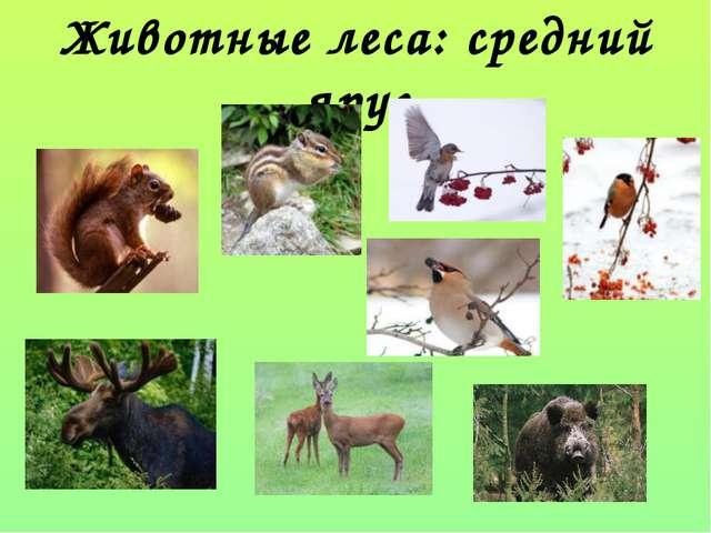 Животные леса: средний ярус