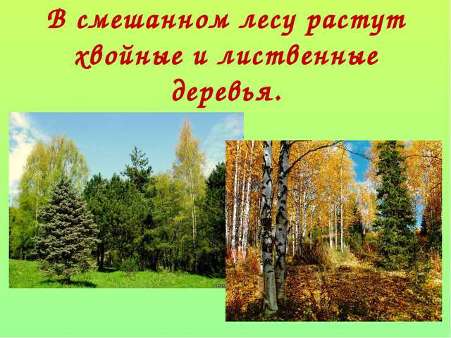 В смешанном лесу растут хвойные и лиственные деревья.