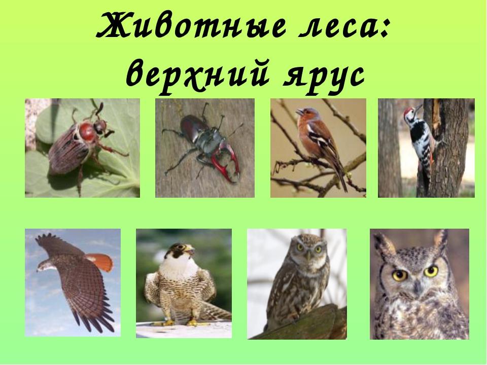 Животные леса: верхний ярус