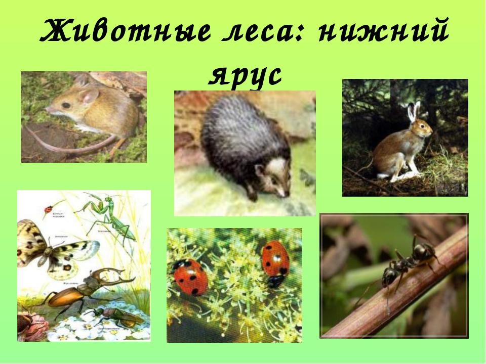 Животные леса: нижний ярус