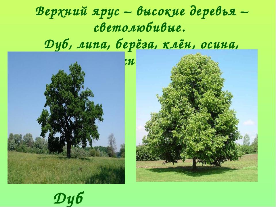 Верхний ярус – высокие деревья – светолюбивые. Дуб, липа, берёза, клён, осина...
