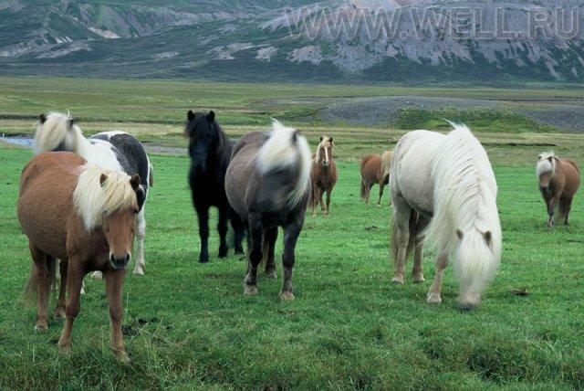 C:\Users\Даша\Desktop\животный мир исландии1.jpg