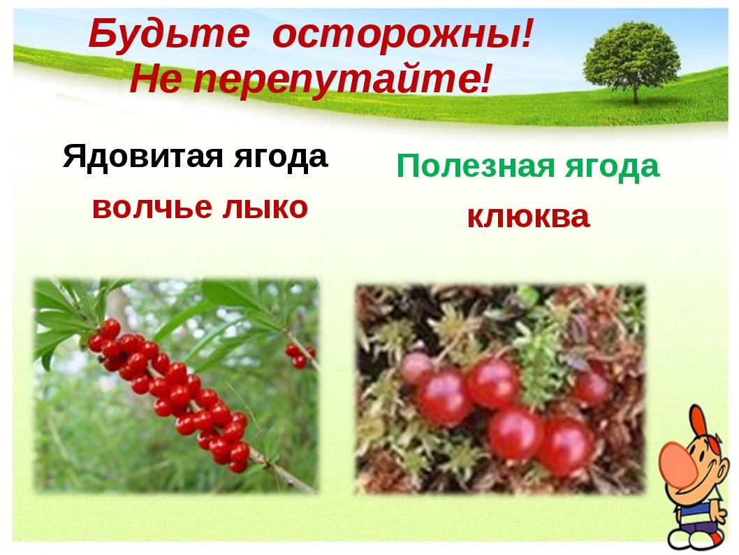 Будьте осторожны! Не перепутайте! Ядовитая ягода волчье лыко Полезная ягода к...