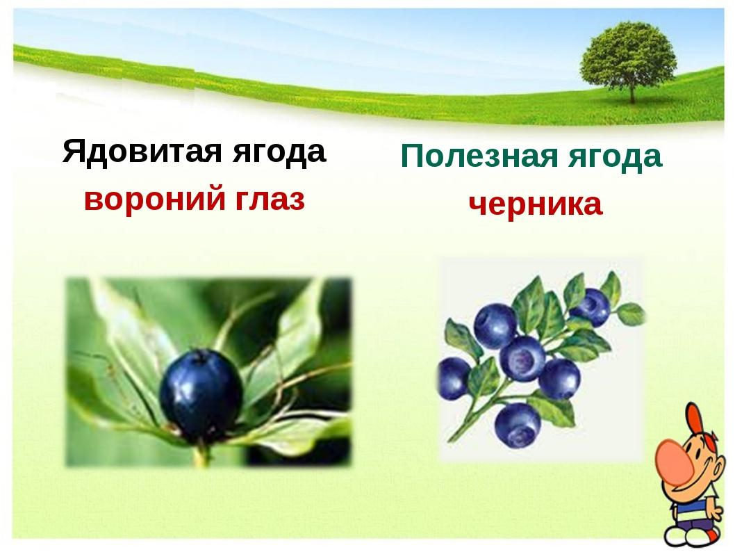 Ядовитая ягода вороний глаз Полезная ягода черника