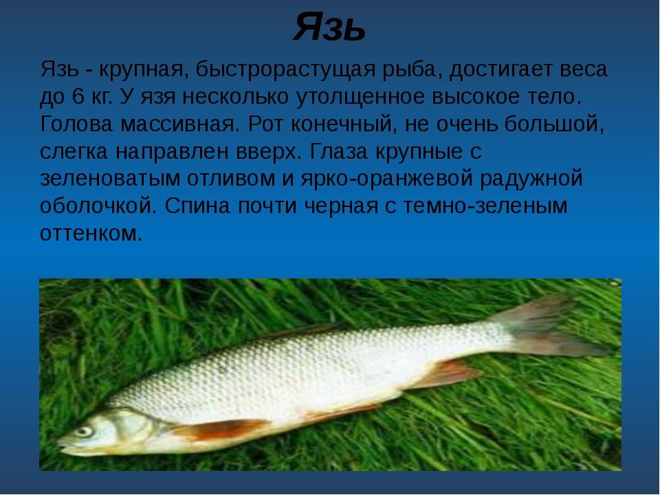 Язь Язь - крупная, быстрорастущая рыба, достигает веса до 6кг. У язя несколь...