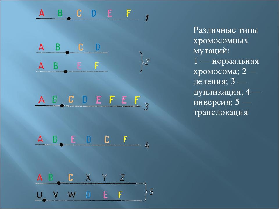 Различные типы хромосомных мутаций: 1 — нормальная хромосома; 2 — деления; 3...