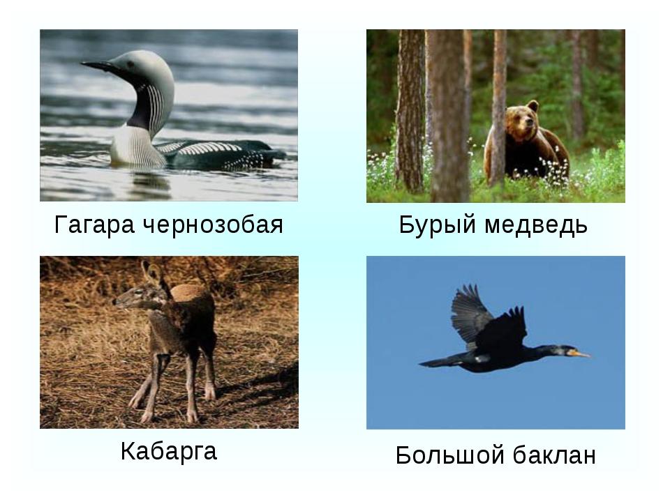 Большой баклан Гагара чернозобая Кабарга Бурый медведь