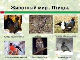 Животный мир . Птицы. Глухарь обыкновенный рябчик Тетерев обыкновенный Лесная