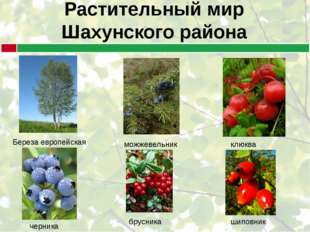 Растительный мир Шахунского района Береза европейская можжевельник клюква чер