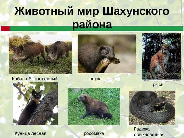 Животный мир Шахунского района Кабан обыкновенный Куница лесная норка росомах...
