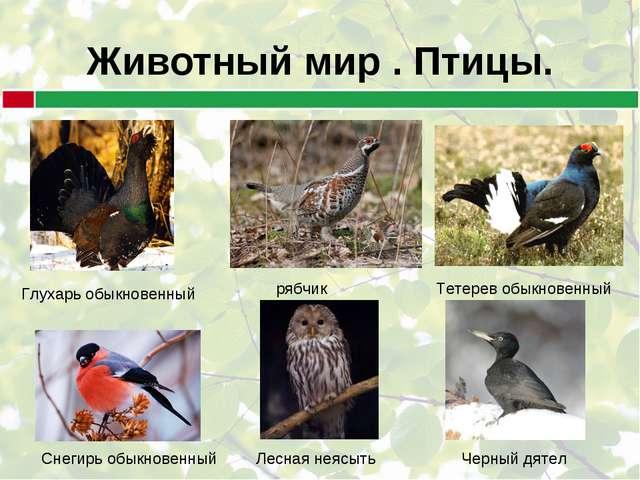 Животный мир . Птицы. Глухарь обыкновенный рябчик Тетерев обыкновенный Лесная...