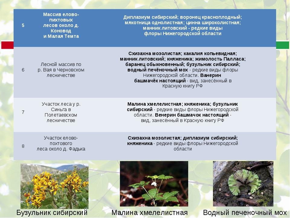 Бузульник сибирский Малина хмелелистная Водный печеночный мох 5 Массив елово...