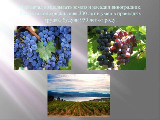 Ной начал возделывать землю и насадил виноградник. После потопа он жил еще 30...