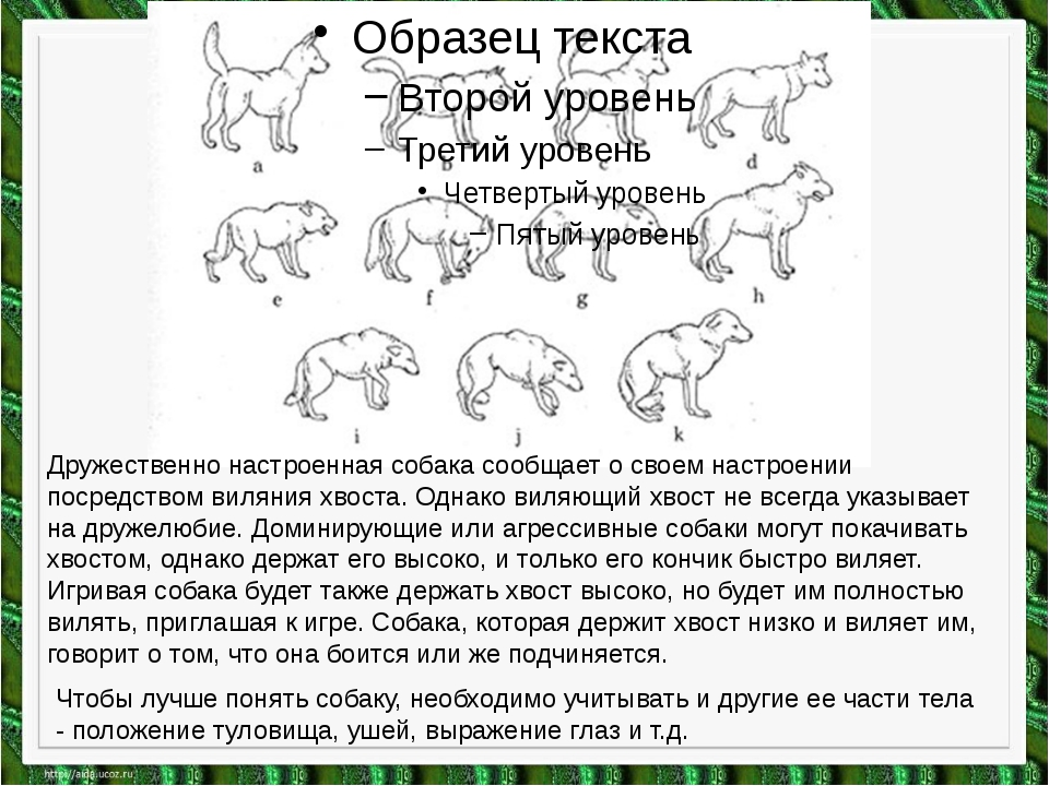 Дружественно настроенная собака сообщает о своем настроении посредством вилян...
