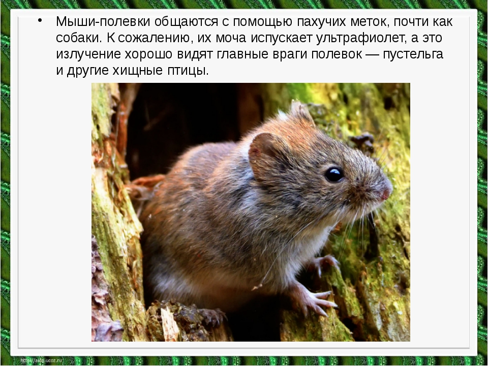 Мыши-полевки общаются с помощью пахучих меток, почти как собаки. К сожалению,...