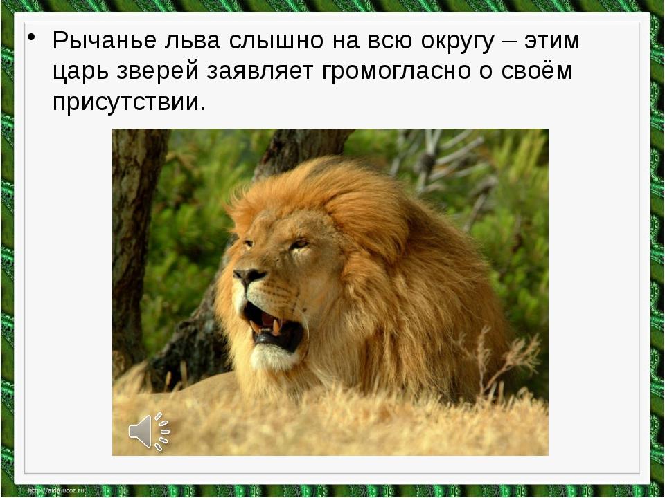 Рычанье льва слышно на всю округу – этим царь зверей заявляет громогласно о с...