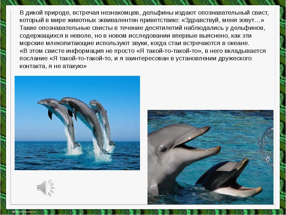 В дикой природе, встречая незнакомцев, дельфины издают опознавательный свист,...
