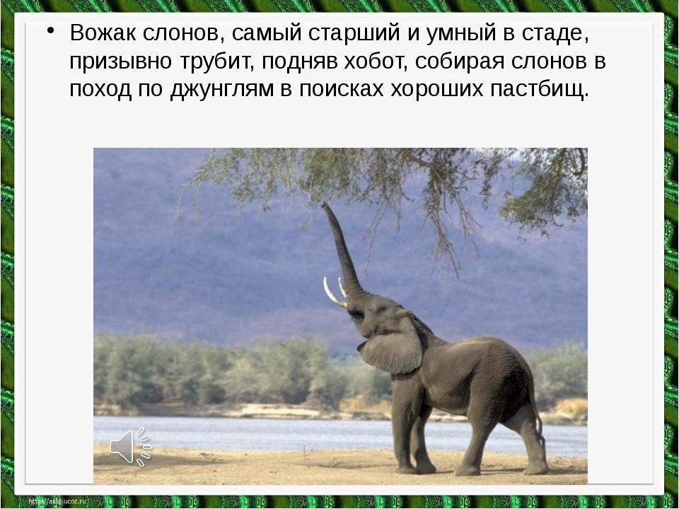 Вожак слонов, самый старший и умный в стаде, призывно трубит, подняв хобот, с...