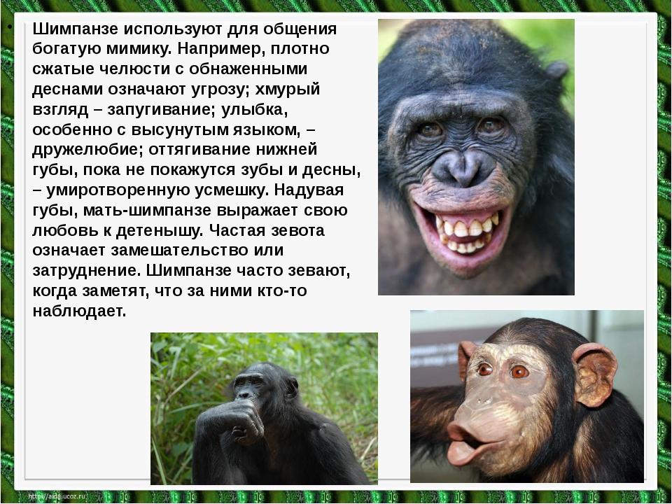 Шимпанзе используют для общения богатую мимику. Например, плотно сжатые челюс...