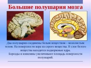 Большие полушария мозга Два полушария соединены белым веществом – мозолистым