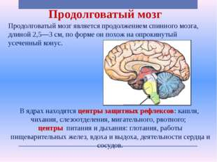 Продолговатый мозг Продолговатый мозг является продолжением спинного мозга, д