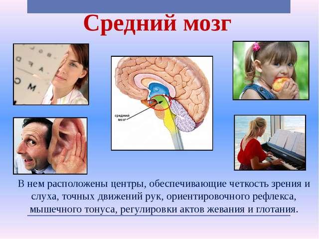 Средний мозг В нем расположены