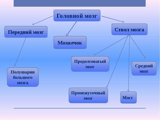 Головной мозг Передний мозг Ствол мозга Мозжечок Промежуточный мозг Полушария...