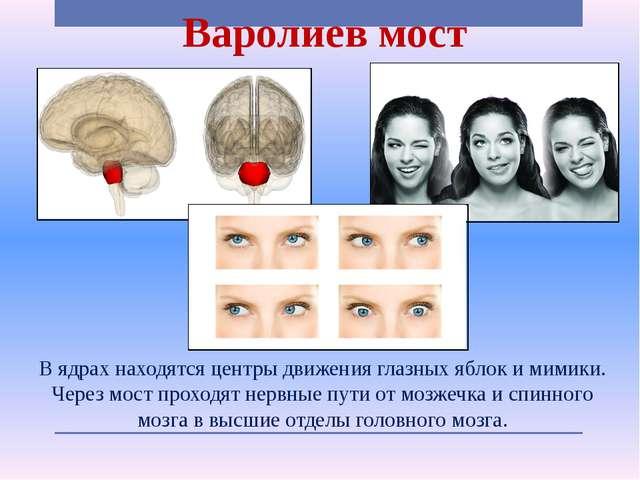 Варолиев мост В ядрах находятся центры движения глазных яблок и мимики. Через...
