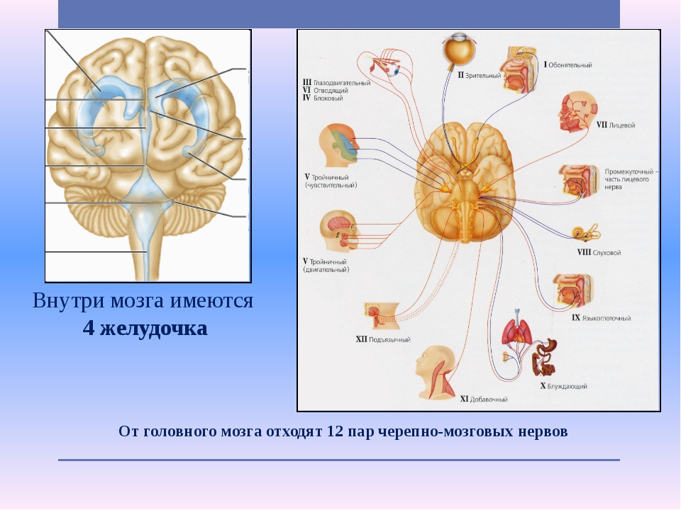 От головного мозга отходят 12 пар черепно-мозговых нервов Внутри мозга имеют...